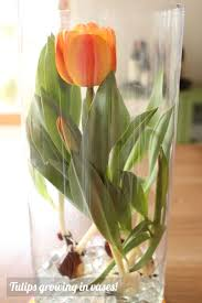 Tulip Vases Mother U0027s Day Idea Tulips Grown In Vases Modern Parents Messy Kids