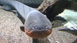 Seeking Eel Eh Name Those Eels Duluth News Tribune