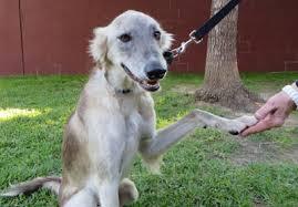 5 year old australian shepherd greyhound adoption league of texas inc