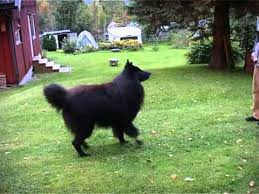 belgian sheepdog registry belgian sheepdog