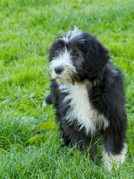 bearded collie x terrier bearded collie photo bearded collie puppy for sale