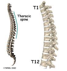 Human Vertebral Column Anatomy Thoracic Spine Anatomy Eorthopod Com