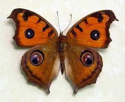 67 best mariposas images on butterflies beautiful