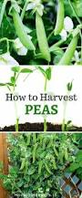 Water Borne Diseases In Plants Pisum Sativum Growing Peas And How To Harvest Peas Easily Home