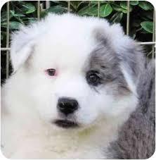 australian shepherd for sale california oscar adopted puppy san diego ca australian shepherd chow