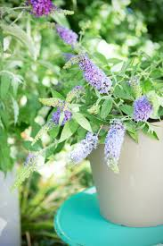 garden plant of the month for august butterfly bush flower council