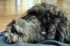 affenpinscher ottawa readers u0027 portuguese water dogs