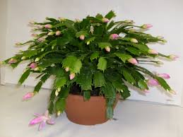 christmas plant take stem cuttings from your christmas cactus plant now and