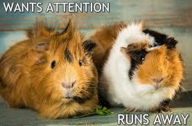 Guinea Pig Meme - wants attention but guinea pig meme 1 virily