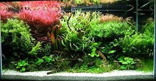 Amano Aquascaping Aquascaping Wikipedia