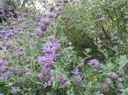native sage plants botaniscapes by tracey blog archive best plants for san diego