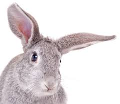 what is the difference between a rabbit and a hare wonderopolis
