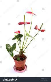 beautiful flowers home indoor decorative plants stock photo