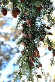 390 best pine pinecones and berries images on