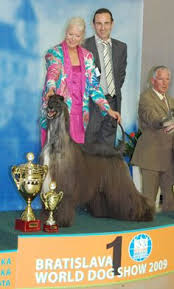afghan hound breeders new york this afghan hound knows he u0027s stage center and struts his stuff at