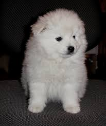 american eskimo dog for sale in colorado cute puppies photos archives doglers