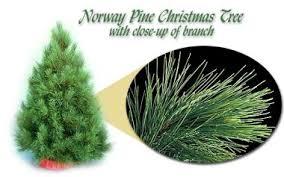 scotch pine christmas tree common christmas trees grown in minnesota
