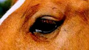 Blind In One Eye Depth Perception Horse Vision And Eyesight Expert Advice On Horse Care And Horse