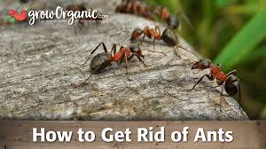 how to get rid of ants organic gardening blog