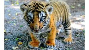 blue eye baby tiger 4k wallpaper free 4k wallpaper