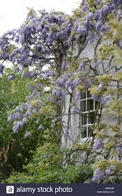 house in england with wisteria climbing plant in full flower stock