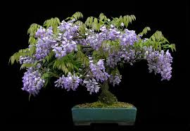wisteria sinensis australian bush flower tassels twigs and tastebuds wisteria lane