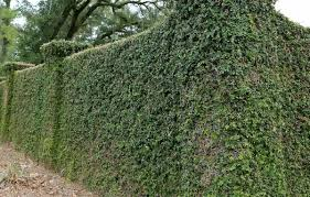 climbing vines plants for fences climbing plants for fences