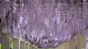 wisteria tree tunnel hd desktop wallpaper widescreen high