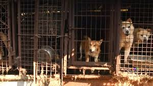 dogs at dinner table 46 dogs destined for south korean slaughterhouse arrive safely in