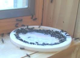Ants In Bathtub Safely Eliminate Ants In The House And Kitchen Five Cedars