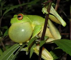 frogs toads and newts the last amphibians all you need is biology