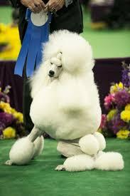 banana joe affenpinscher pedigree 134 best show dogs images on pinterest animals westminster dog
