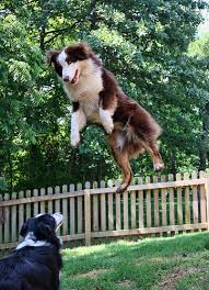 australian shepherd jumping australian shepherd levitation they can do it dog shepherd