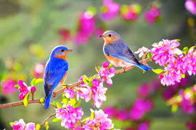 lovely two blue birds on a blossom branch