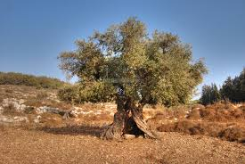 trees and bushes of the holy land