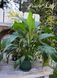 Peace Lily Plant Caring For Your Peace Lily Spathiphyllum Flower Patch Farmhouse