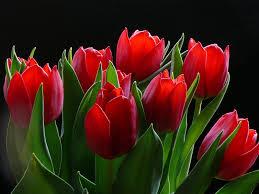 tulips flowers tulips flowers