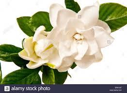 white gardenia blossom isolated on white background stock photo