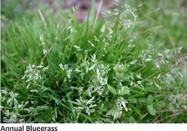 programs natural resources weeds and lawn cool season weed control in spring colorado