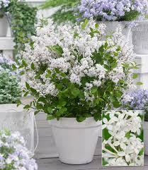 flieder balkon flieder flowerfest white top qualität baldur garten