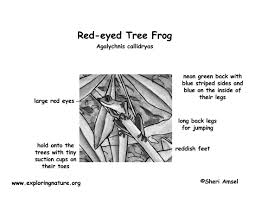 frog red eyed tree