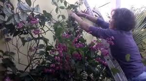 Famosos Flor Lagrima de Cristo, guiar e espalhar as flores pela parede  &QD68