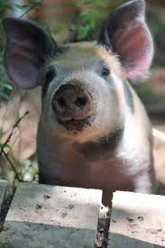 1147 best pigs images on pinterest farm animals piglets and animals