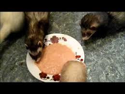 ferret raw diet day 1 youtube