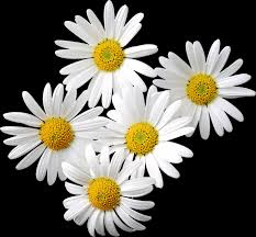transparent daisies clipart daisies pinterest flowers and plants