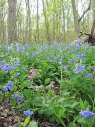 native plants of maryland the blooming bluebells of the lower susquehanna river maryland