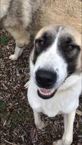 australian shepherd virginia australian shepherd dog for adoption in ontario california