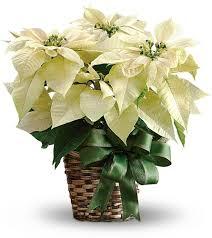 white poinsettia plant poinsettias pinterest