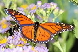 do monarch butterflies live