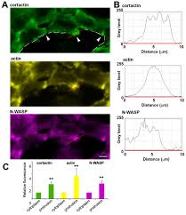n wasp mediated invadopodium formation is involved in